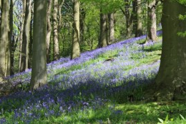 Bluebells in Dumbleton wood