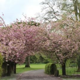 Cherry blossom in Bibury