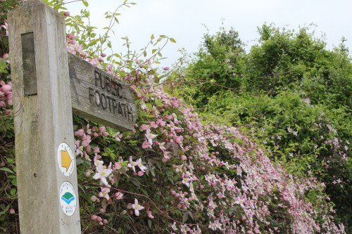 Footpath past clematis