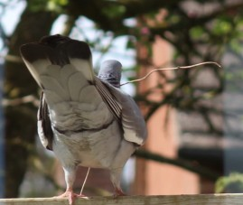 Pigeon with twig for a nest